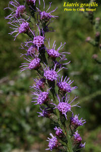 Liatris gracilis