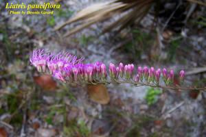 Liatris pauciflora