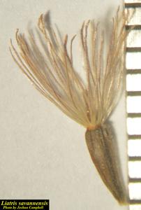 Liatris savannensis