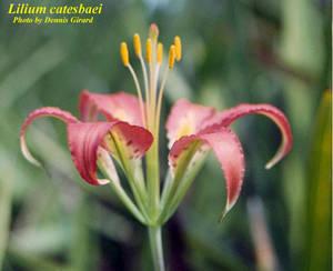 Lilium catesbaei
