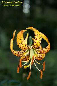 Lilium iridollae