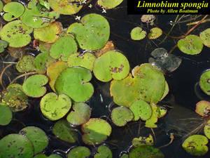 Limnobium spongia