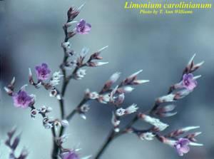 Limonium carolinianum