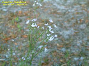 Linaria floridana