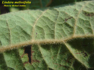 Lindera melissifolia