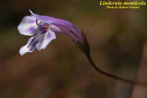 Lindernia monticola