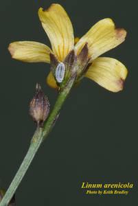 Linum arenicola