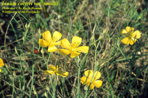 Linum carteri var. smallii