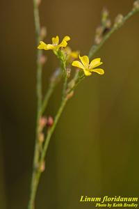 Linum floridanum