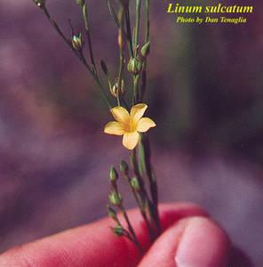 Linum sulcatum