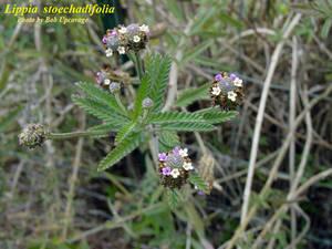 Lippia stoechadifolia