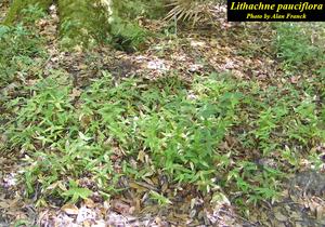 Lithachne pauciflora