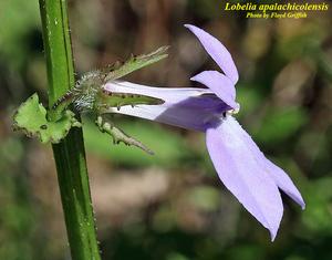 Lobelia apalachicolensis