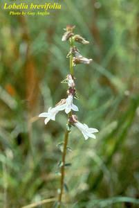 Lobelia brevifolia