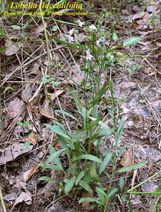 Lobelia flaccidifolia