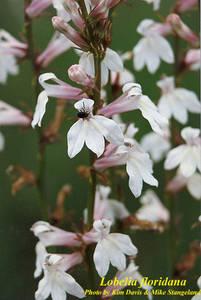 Lobelia floridana