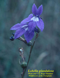 Lobelia glandulosa