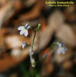 Lobelia homophylla