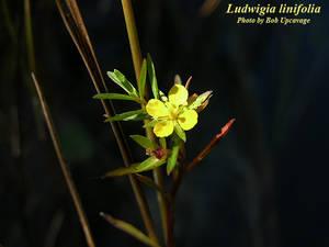 Ludwigia linifolia