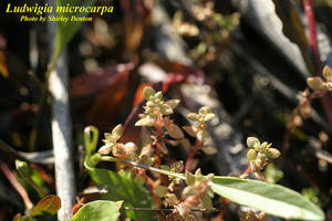 Ludwigia microcarpa