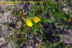 Ludwigia peploides subsp. glabrescens