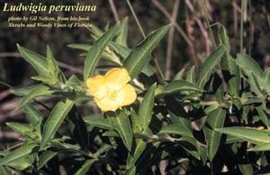 Ludwigia peruviana