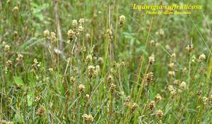 Ludwigia suffruticosa
