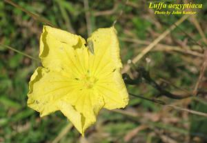 Luffa aegyptiaca