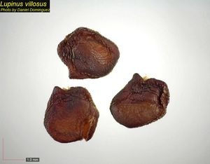 Lupinus villosus