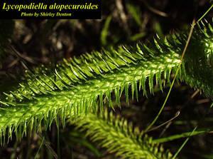 Lycopodiella alopecuroides