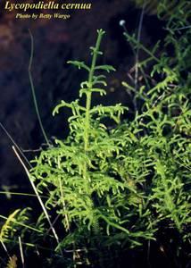Lycopodiella cernua