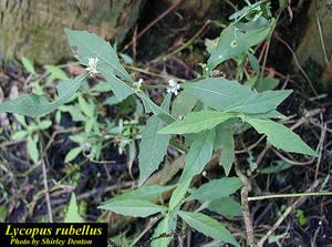 Lycopus rubellus