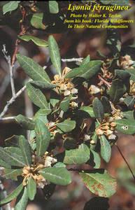 Lyonia ferruginea