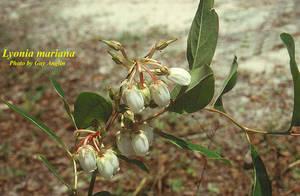 Lyonia mariana