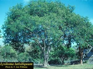Lysiloma latisiliquum