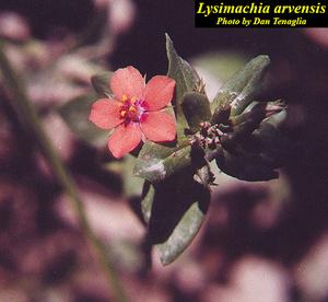 Lysimachia arvensis