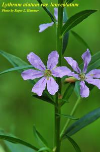 Lythrum alatum var. lanceolatum