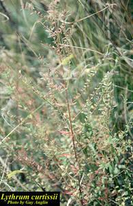 Lythrum curtissii