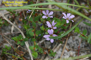 Lythrum flagellare