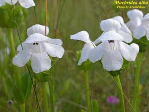 Macbridea alba