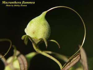 Macranthera flammea