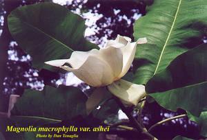 Magnolia macrophylla var. ashei