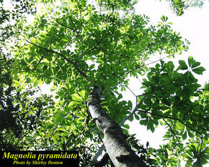 Magnolia pyramidata