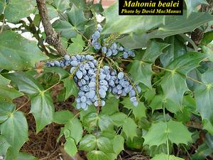 Mahonia bealei