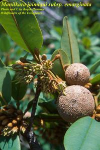 Manilkara jaimiqui subsp. emarginata