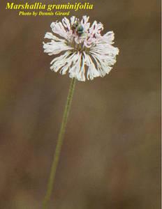 Marshallia graminifolia