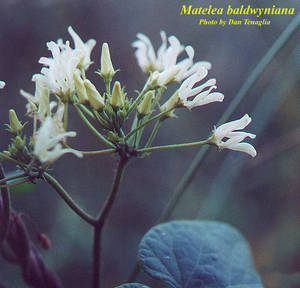 Matelea baldwyniana