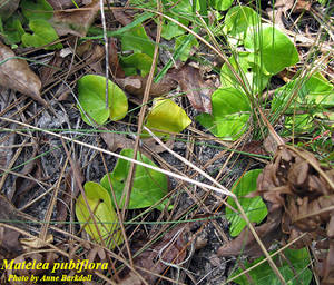 Matelea pubiflora