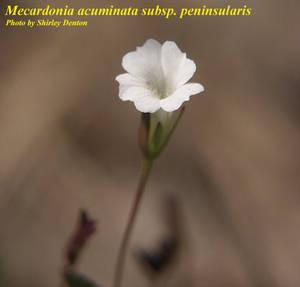 Mecardonia acuminata subsp. peninsularis