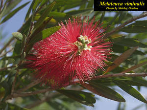 Melaleuca viminalis